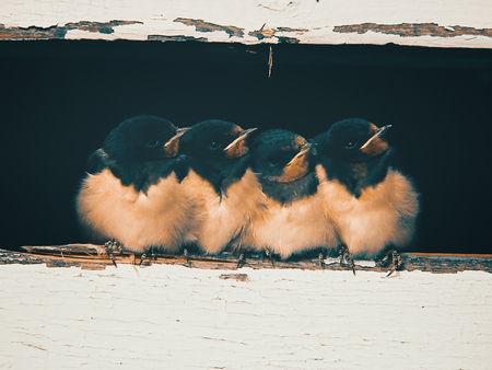 barn swallow: nestlings of barn swallow (Hirundo rustica) sitting in the attic, retro style effect Stock Photo