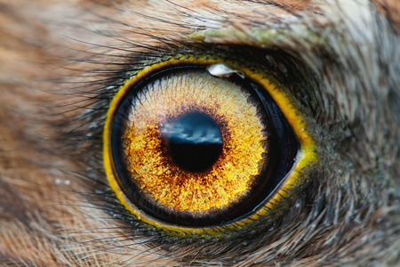 hypnosis: bird eye close-up, macro effect photo of Hen Harrier (Circus cyaneus) Stock Photo