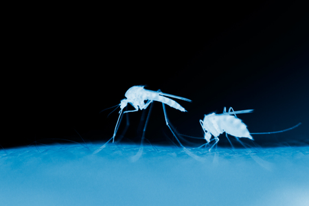 mosquitos: two mosquitos on a human skin in the evening, x-ray effect Stock Photo