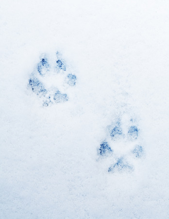 blue prints: pawprints of a dog on snow