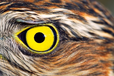 sparrowhawk: eye of Sparrow-hawk close up Stock Photo