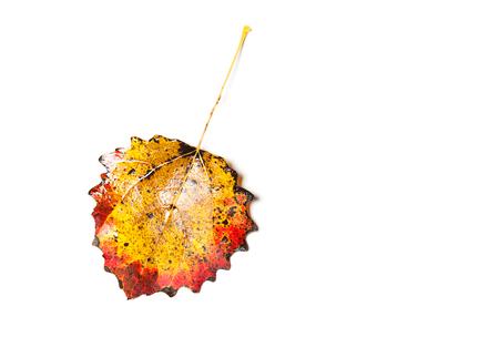 aspen tree: orange leaf of a aspen tree isolated on white Stock Photo