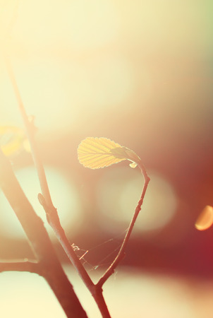 alder tree: alder tree branch in the forest at sunrise, retro color toning Stock Photo