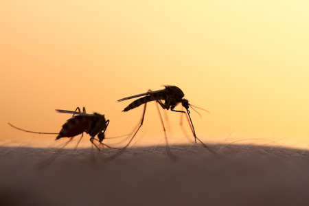 mosquitos: two mosquitos on human skin at sunset Stock Photo