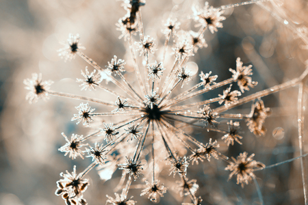 siluetas: abstract dry flower in winter Stock Photo