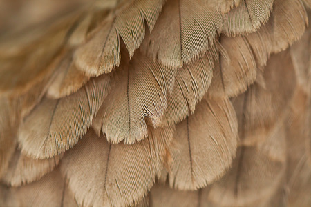 plumage background of a hawk closeup Stock Photo