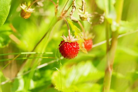 'wild strawberry: wild strawberry in nature, natural photograph Stock Photo