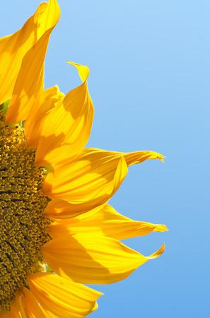 sunflower against blue sky closeup Stock Photo