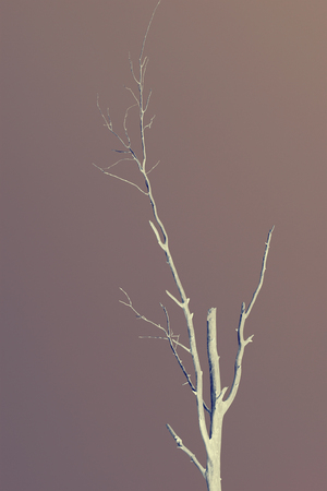 branching: silhouette of a dry tree, x-ray effect vintage efect