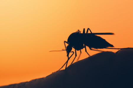 taint: mosquito on the human skin at sunset Stock Photo