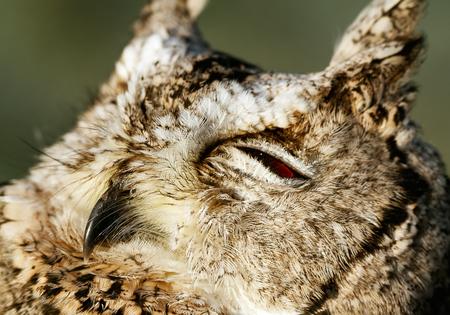 Portrait of collared scops-owl (Otus bakkamoena). Stock Photo