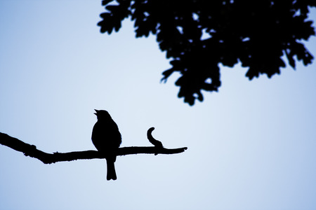 The silhouette of songbird in the evening.