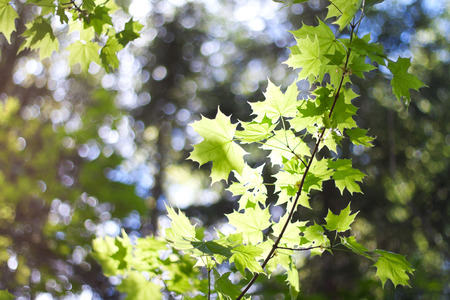 The branch of maple in forest. Stock Photo