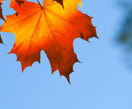 maple leaf against blue sky in autumn