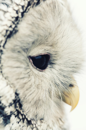 Birds of the World - Ural Owl (Strix uralensis), vintage style portrait