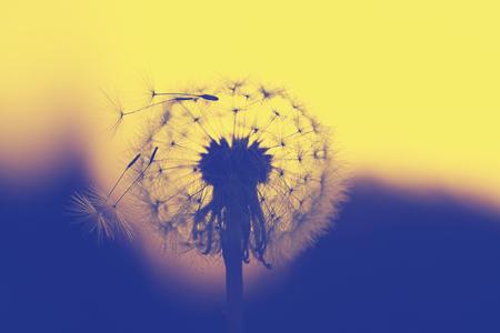 macro photo of dandelion flower head at sunset
