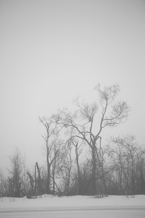 silhouettes of defoliage trees in winter time, foggy morning, black and white photo