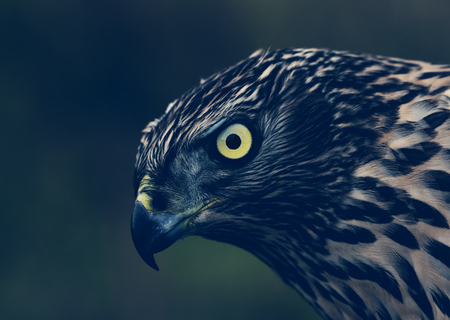 Birds of Europe - Northern Goshawk (Accipiter gentilis), portrait in the dark, vintage colors