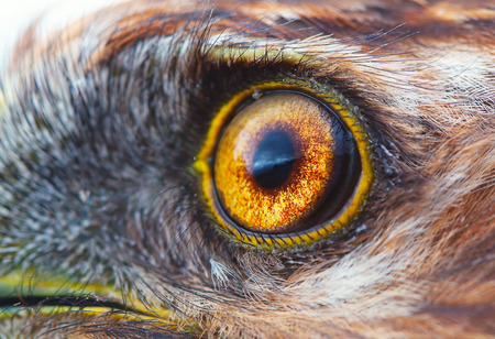 induce: bird eye close-up, macro effect photo of Hen Harrier (Circus cyaneus) Stock Photo