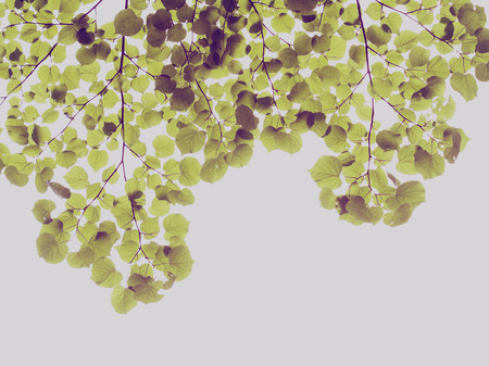 branch of the Linden tree, vintage colors image