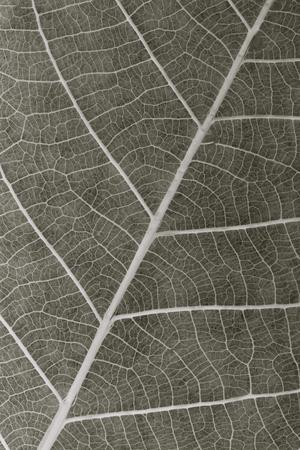 dry leaf background closeup, x-ray effect 免版税图像