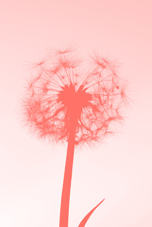 macro photo of dandelion head in a living coral tone