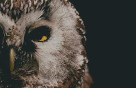 Boreal Owl (Aegolius funereus), portrait in the dark