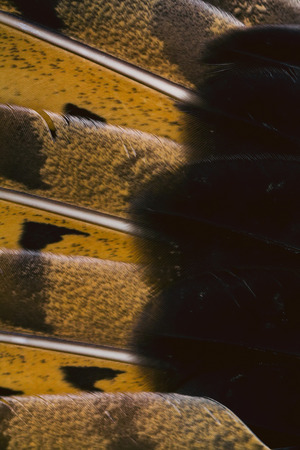 bird wing plumage background, macro photo, abstract texture