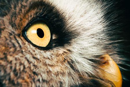 portrait of the Great Grey Owl (Strix nebulosa)