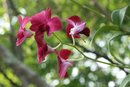 orchidaceae: red orchidaceae Stock Photo