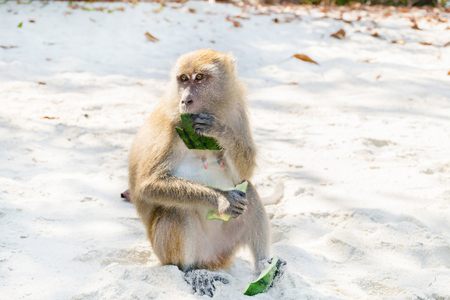 ate: Monkey ate watermelon rind on the beach