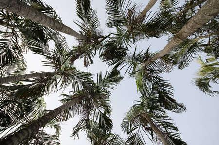 betel palm Stock Photo - 13300349