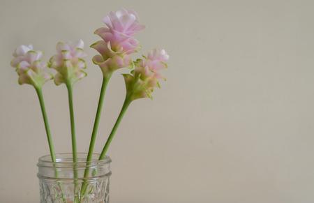 siam: siam tulip