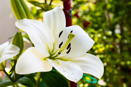 Close up capture on white lily flower Stock Photo