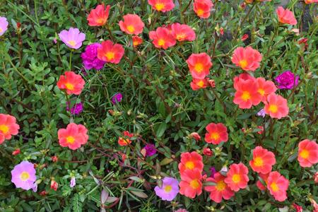 veronica flower: flower grass plant