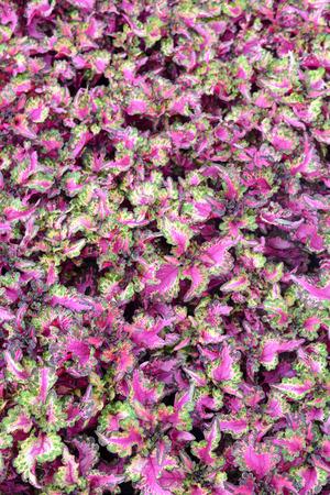 pink  leaf: beautiful pink leaf field