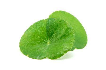 longevity medicine: green asiatic pennywort isolated on white background