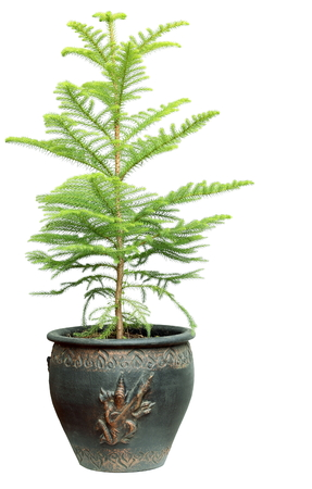 tree in pot solated on white background.