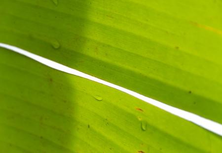 banana leaf: gota de lluvia en la hoja del pl�tano