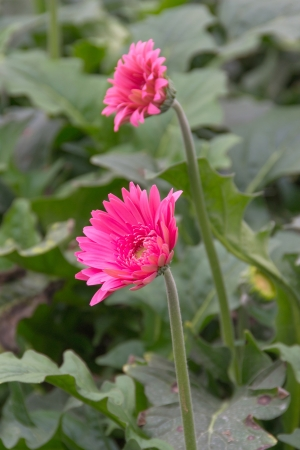 pink  gerbera flower in the garden photo
