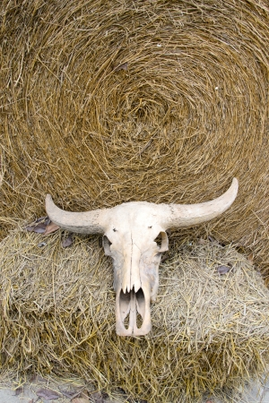 Buffalo skull on rice straw photo