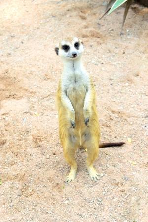 erdmaennchen: Meerkat or Suricate in Dusit Zoo, Thailand