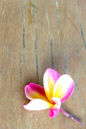 Tropical flower Plumeria on wood photo