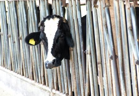 cow calf in farmers barn photo
