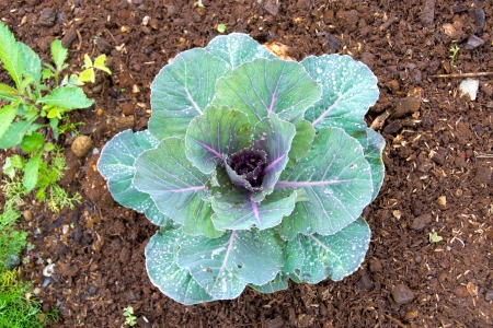 dewdrop: Ornamental Purple Kale or cabbage and dewdrop Stock Photo