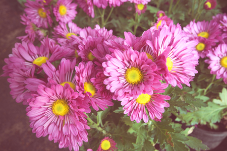 annealed: Purple chrysanthemum flowers,Vintage Style
