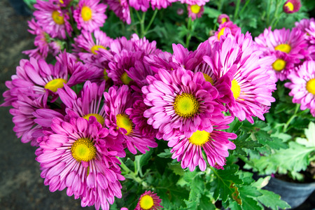 annealed: Purple chrysanthemum flowers
