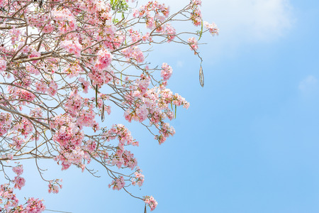 Tabebuia rosea trees or Pink trumpet blooming with copy space