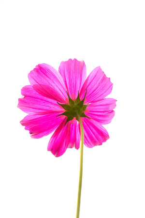 Single pink Cosmos Flower isolated on white background Stock Photo