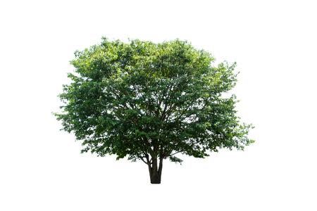 Single tree on white background Stock Photo